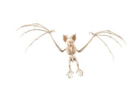 Squelette de chauve souris